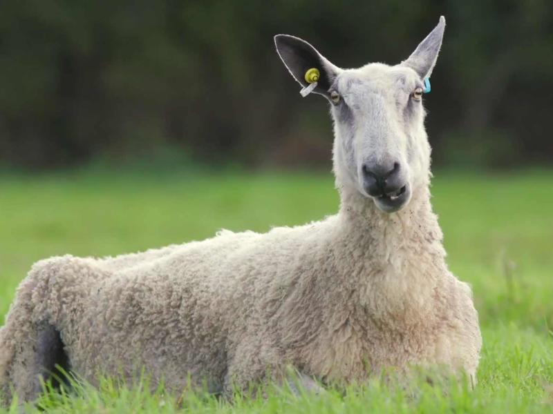 ENO Iolanthe: Sheep intro thumbnail